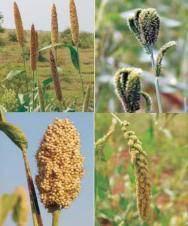 Fight malnutrition by growing millets